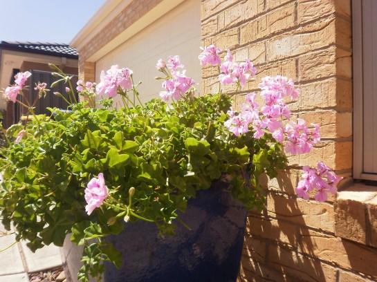 pots of geraniums...always evocative of summer